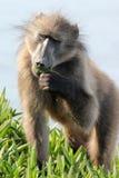Ein Pavian, der ein grünes Blatt isst Lizenzfreie Stockfotografie