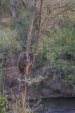 Ein Pavian, der in einem Baum hängt Stockbilder