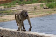Ein Pavian im Nationalpark Kruger Lizenzfreie Stockbilder