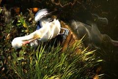 Ein Pelikan Stockfoto