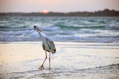 Ein Pelikan auf dem Strand bei Sonnenaufgang Lizenzfreies Stockfoto