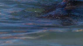 Ein Pelikan auf dem Wasser stock video footage