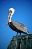Ein Pelikan, der auf einem Pier in Kalifornien steht. Lizenzfreies Stockfoto