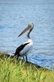 Ein Pelikan, der den Fluss in Australien bereitsteht Stockfoto
