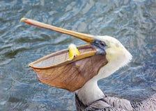 Ein Pelikan, der einen Fisch für das Mittagessen isst Lizenzfreie Stockfotos