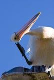 Ein Pelikan, der ihn löscht, ist Kopf Stockfoto