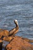 Ein Pelikan, der morgens Sonnenschein begießt stockbild