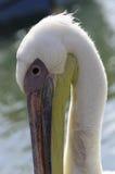 Ein Pelikan, der seinen Stutzen wölbt Lizenzfreie Stockbilder