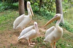 Ein Pelikan familiy Stockbilder