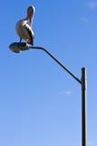 Ein Pelikan gehockt auf einem Laternenpfahl Lizenzfreies Stockbild