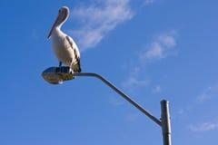 Ein Pelikan gehockt auf einem Laternenpfahl Lizenzfreie Stockfotos