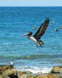 Ein Pelikan gleich nach Start stockbild