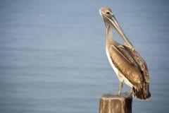 Ein Pelikan sitzt auf einem Pylonbeitrag mit Lizenzfreies Stockfoto