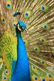 Ein Pfau, der seine Federn flaunting ist Lizenzfreie Stockfotos