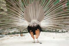 Ein Pfau mit seinen Federn öffnen sich Stockfoto