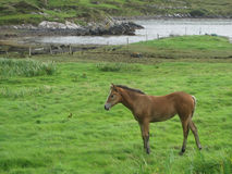Ein Pferd auf dem Gras nahe dem Ozeanfjord, Irland Stockbilder