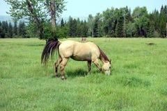 Ein Pferd auf einem Gebiet in Idaho Lizenzfreie Stockbilder