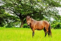 Ein Pferd auf grünem Gras und großem Baum Stockbild