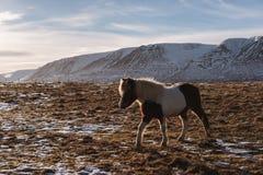 Ein Pferd, das auf dem Gebiet am Ackerland im Winter geht Stockbilder