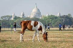 Ein Pferd, das bei Maidan, der größte offene Spielplatz in Kolkata Kalkutta, Westbengalen, Indien weiden lässt lizenzfreie stockbilder