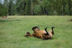 Ein Pferd, das zurück seins in einer grasartigen Wiese verkratzt Lizenzfreies Stockbild