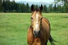 Ein Pferd an einem Tag des Sommers in Idaho Stockfotografie