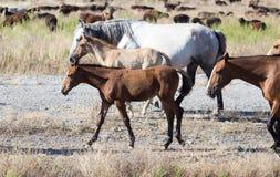 Ein Pferd in einer Weide in der Wüste Lizenzfreie Stockfotografie