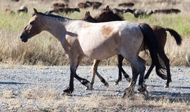 Ein Pferd in einer Weide in der Wüste Lizenzfreie Stockfotos