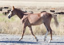 Ein Pferd in einer Weide in der Wüste Stockbilder