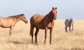 Ein Pferd in einer Weide in der Wüste Stockfoto