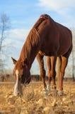 Ein Pferd lässt weiden. Stockbild