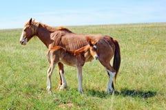 Ein Pferd mit einem Fohlen auf der Wiese Stockbilder