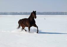 Ein Pferd trottet auf Schneefeld Stockfoto