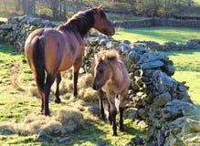 Ein Pferd und ein Fohlen Lizenzfreies Stockfoto