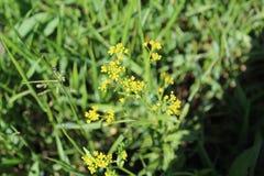 Ein Pflänzchen blüht in den kleinen gelben Blumen Lizenzfreies Stockbild