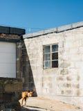 Ein Pharaojagdhund späht heraus von hinten eine niedrige Mauer auf einem hellen Sonnenschein lizenzfreie stockbilder
