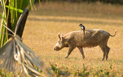Ein Piapiac Reiten auf einem Schwein Stockbilder