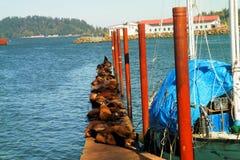 Ein Pier von Seelöwen lizenzfreies stockbild