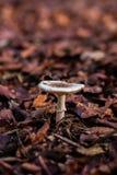 Ein Pilz auf einer Schicht Blättern Stockbild