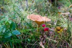 Ein Pilz in einem russischen Wald lizenzfreie stockbilder
