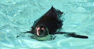 Ein Pinguin Stockfoto