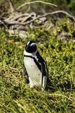 Ein Pinguin an Boulders Strand an der falschen Bucht lizenzfreie stockbilder