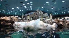 Ein Pinguin schwamm am Zoopinguin-Wasserbehälter stock footage