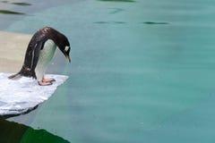Ein Pinguin ungefähr, zum eines Tauchens in das Wasser zu nehmen Stockbild