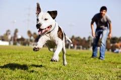 Mitten in der Luft, das Pitbull Hund laufen lässt Stockbild