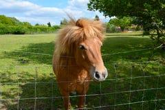 Ein Pony, das über Zaun blickt Stockbild