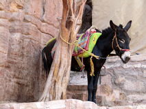 Ein Pony, das entlang dem Aufstieg herauf Kloster in Petra Jordan stillsteht Stockbild