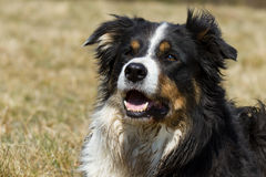 Border-Collie Lizenzfreies Stockfoto