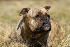 Olde Englisch-Bulldogge Lizenzfreie Stockfotos