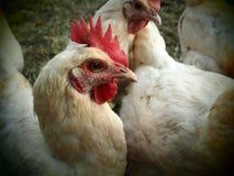 Ein Porträt des glücklichen Huhns mit Vignette lizenzfreies stockbild